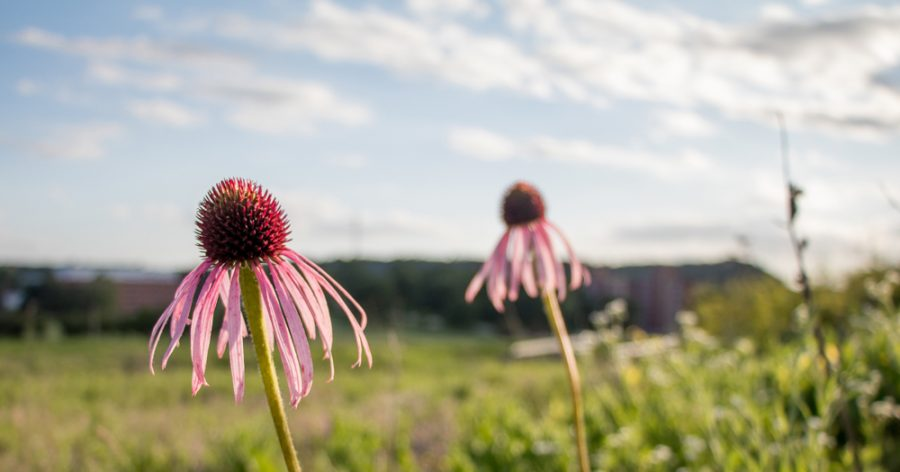 Echinacea+Purpurea%2C+commonly+referred+to+as+the+Purple+Coneflower%2C++in+Anderson+Prairie.+These+flowers+could+be+threatened+by+the+construction+of+a+school+in+the+prairie.
