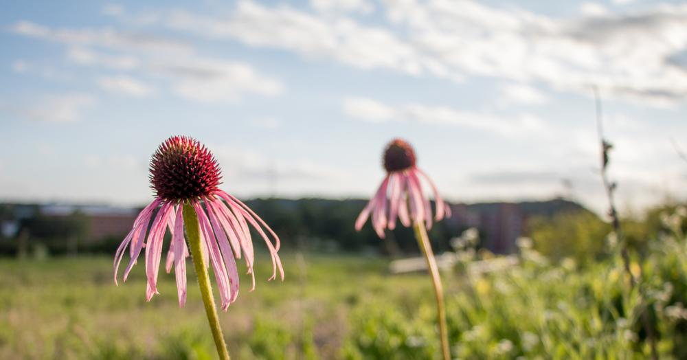 Echinacea Purpurea, commonly referred to as the Purple Coneflower,  in Anderson Prairie. These flowers could be threatened by the construction of a school in the prairie.