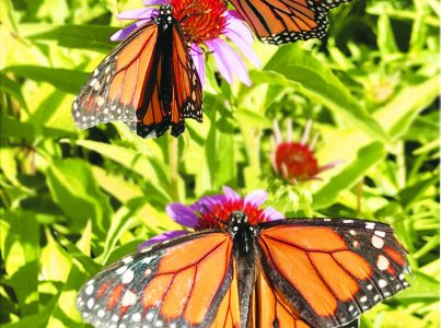 Students research monarch migration patterns in North America