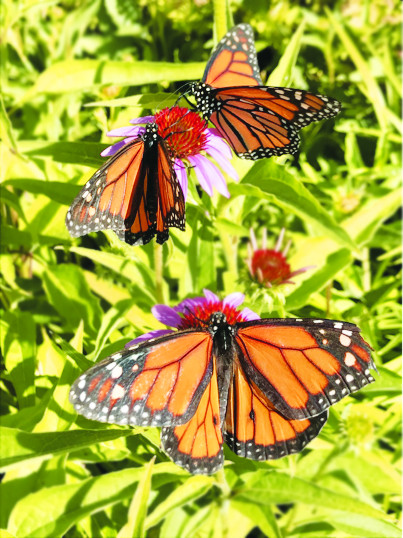 Monarch butterflies fly south to Mexico each winter.
