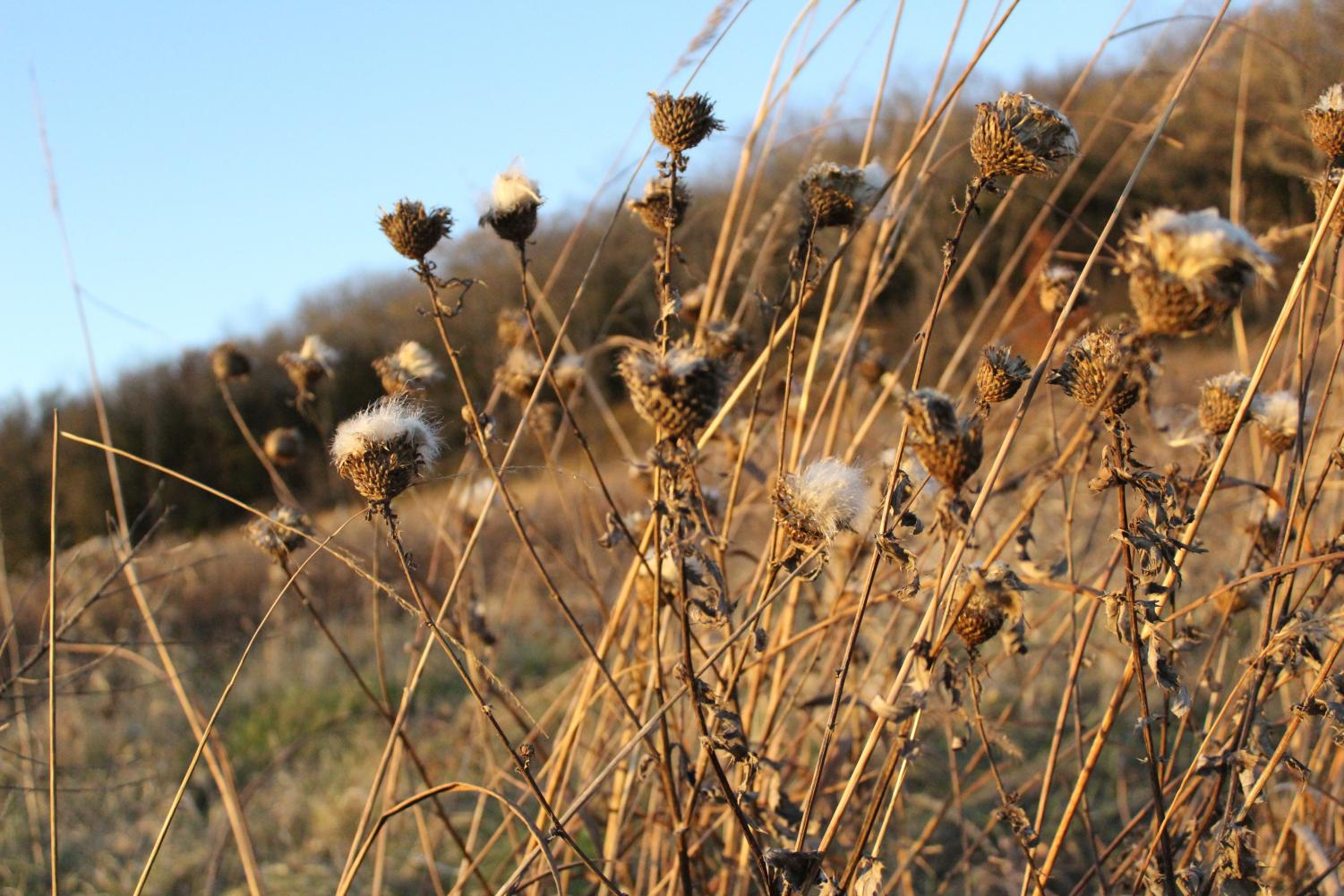 Anderson Prairie is full of plants in various stages of seeding as they prepare for winter.